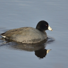 American Coot