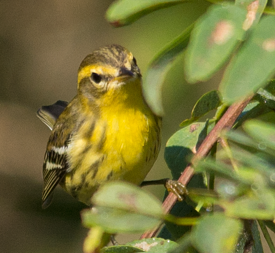 Black and Waite Warbler