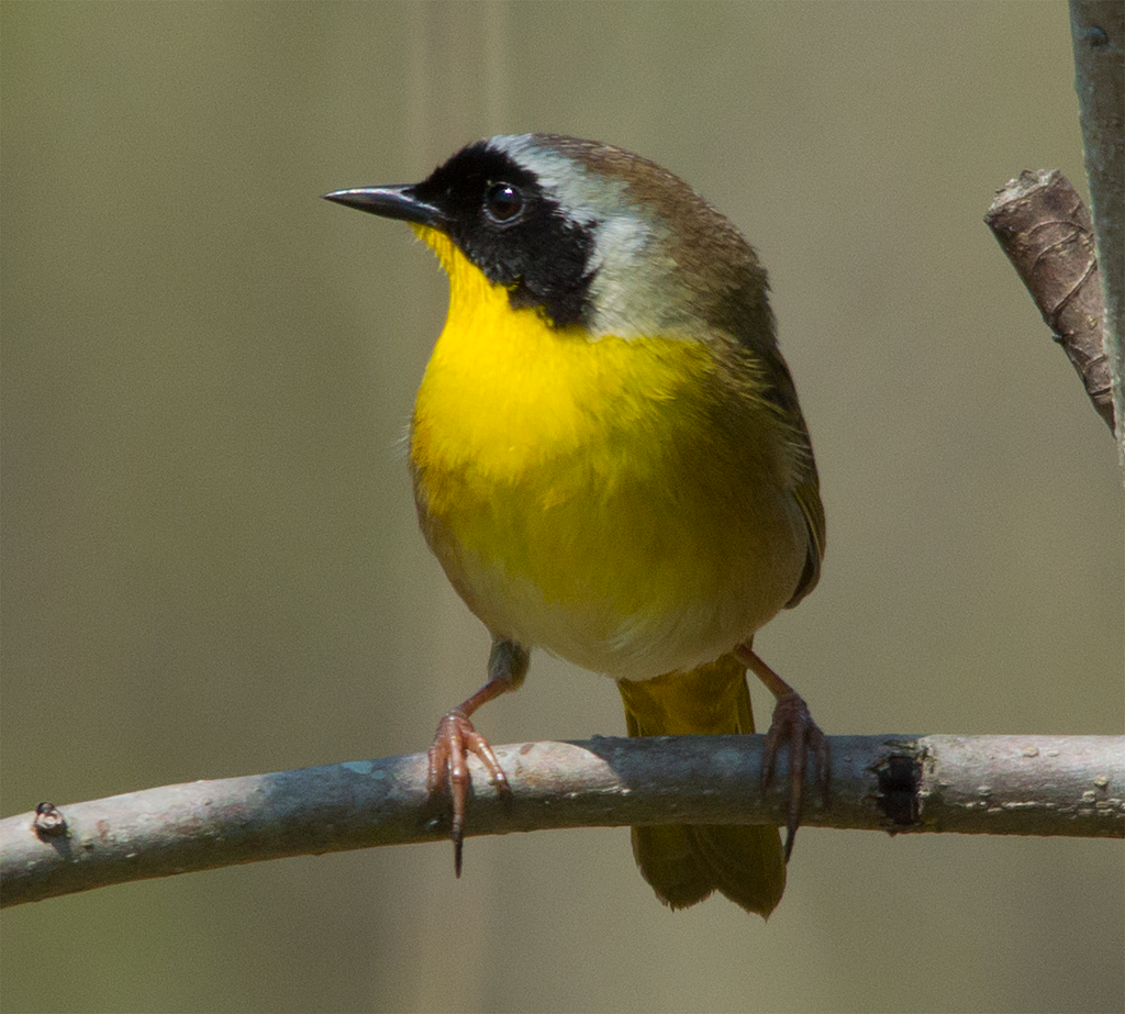 Common Yellowthroat  Warbler