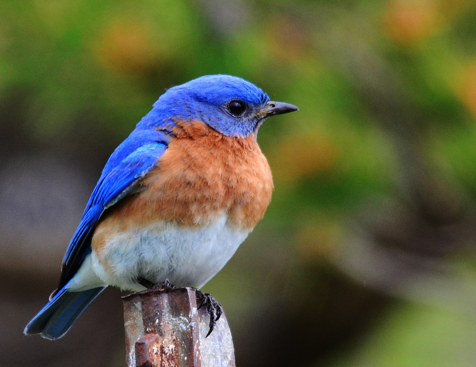 Blue bird - photo#12