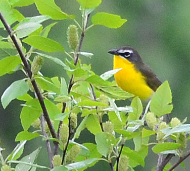 Yellow Breasted Chat 21