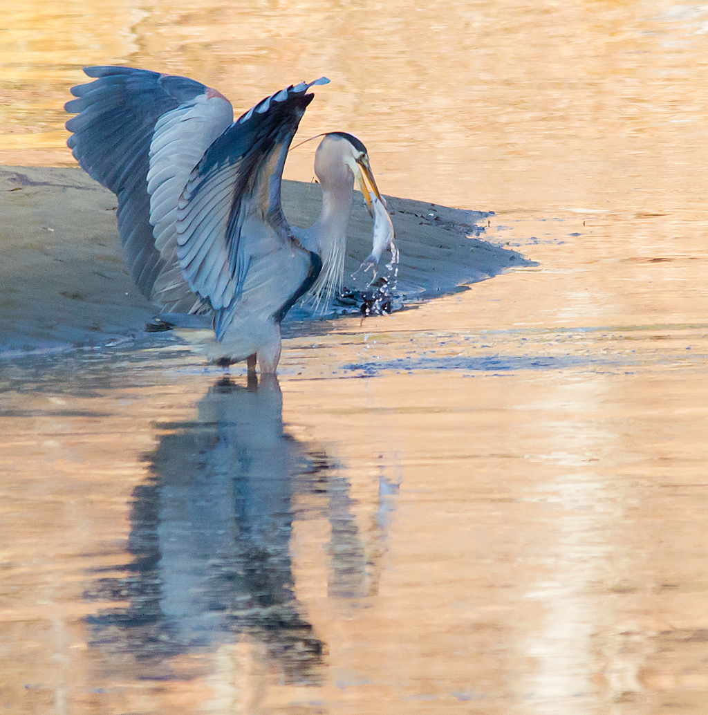 Great Blue Heron 167