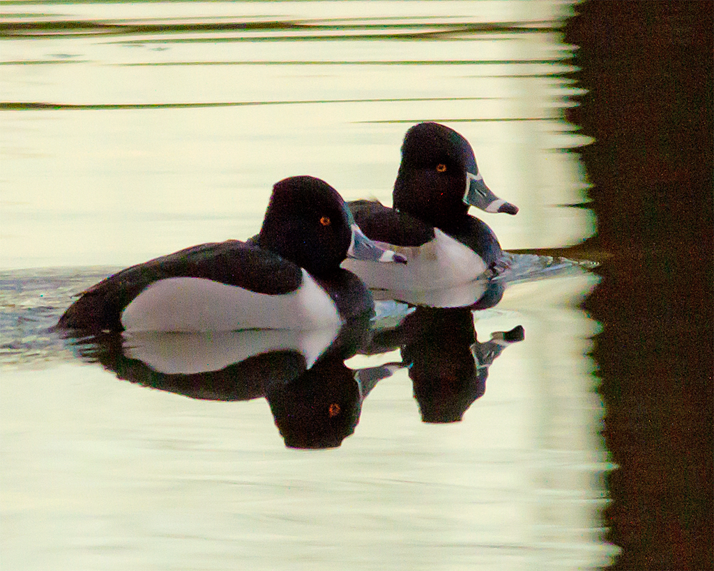 Ring Necked Duck 22