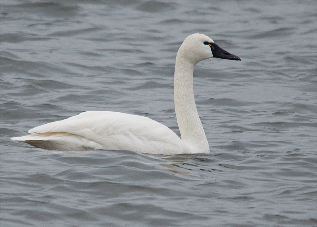 Download image Tundra Swan My Birding Photos PC, Android, iPhone and ...