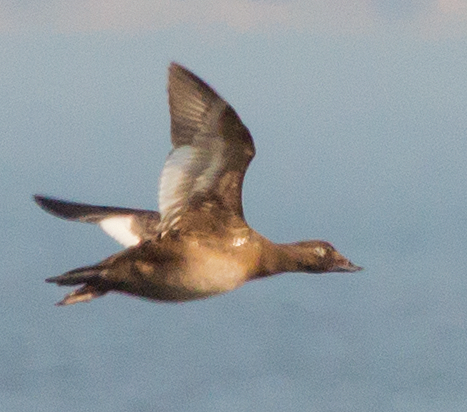 White Winged Scoter