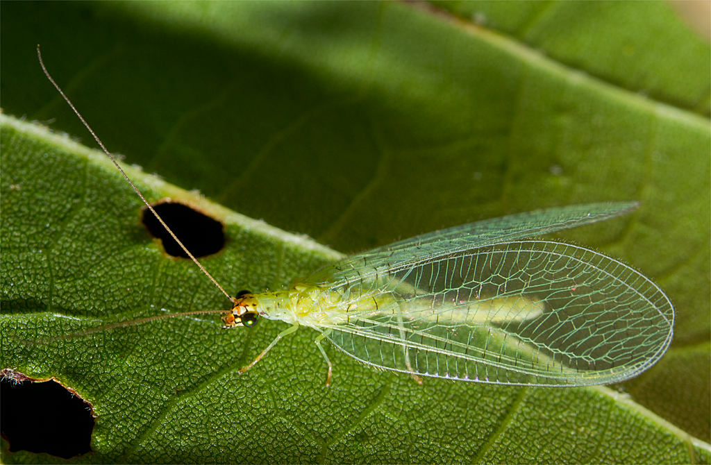 Lacewing 1