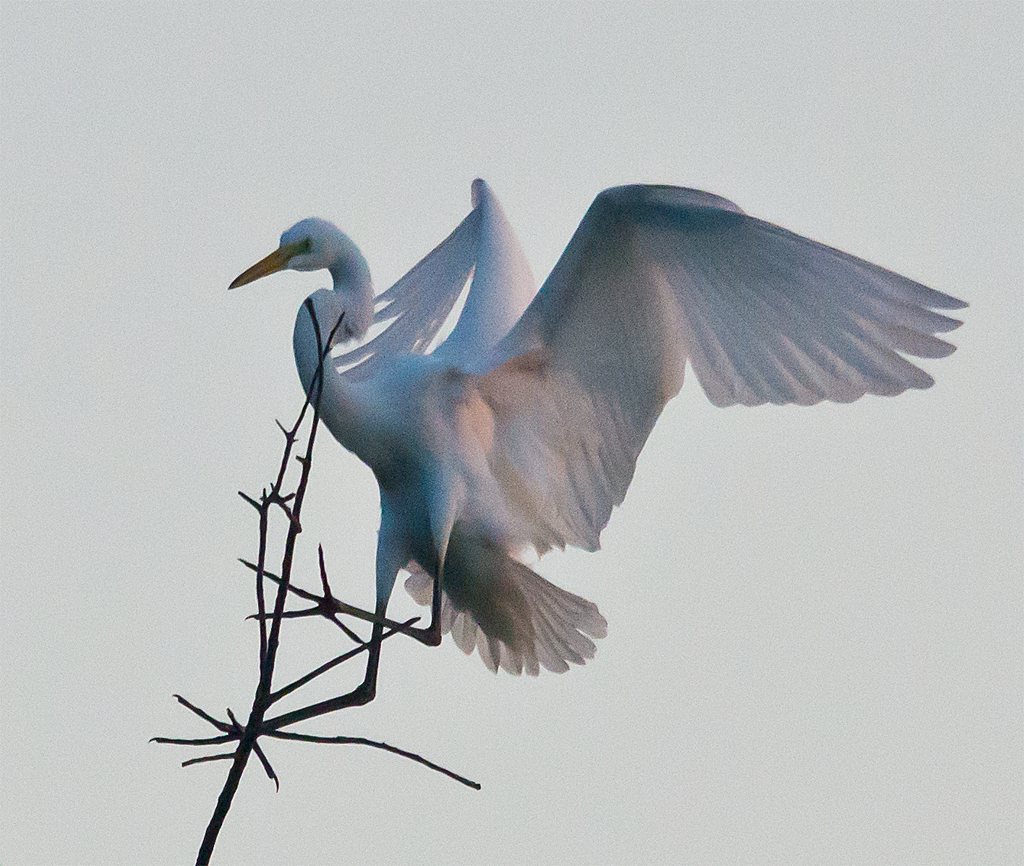 Little Blue Heron 102