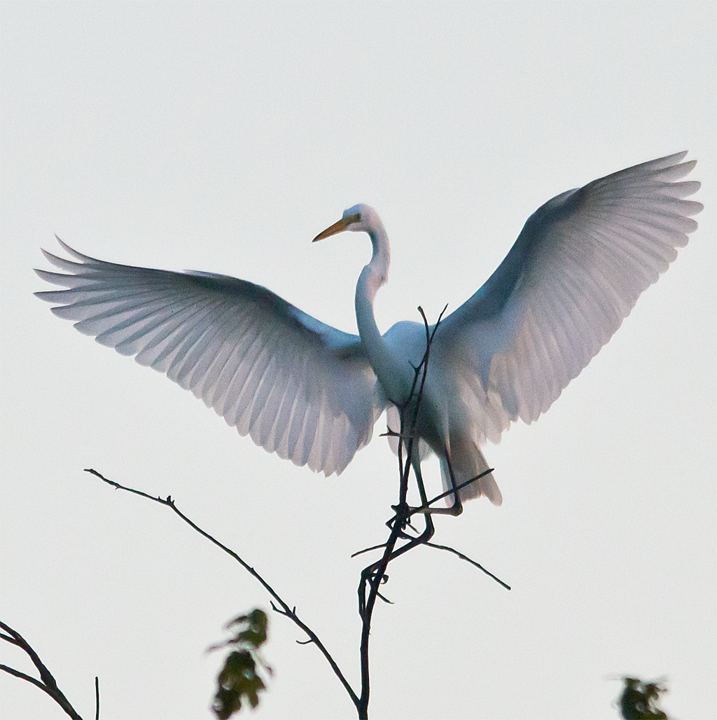 Little Blue Heron 104