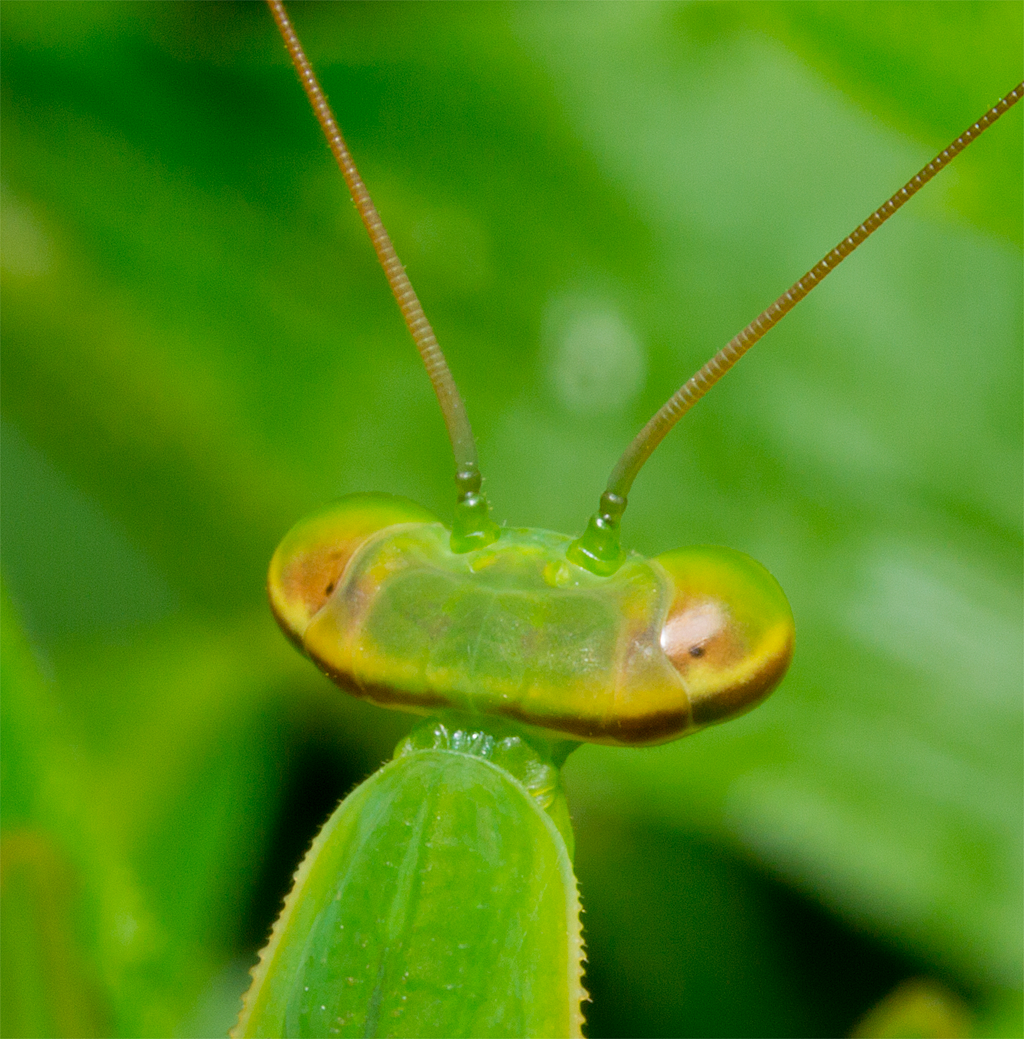 Praying Mantis 31