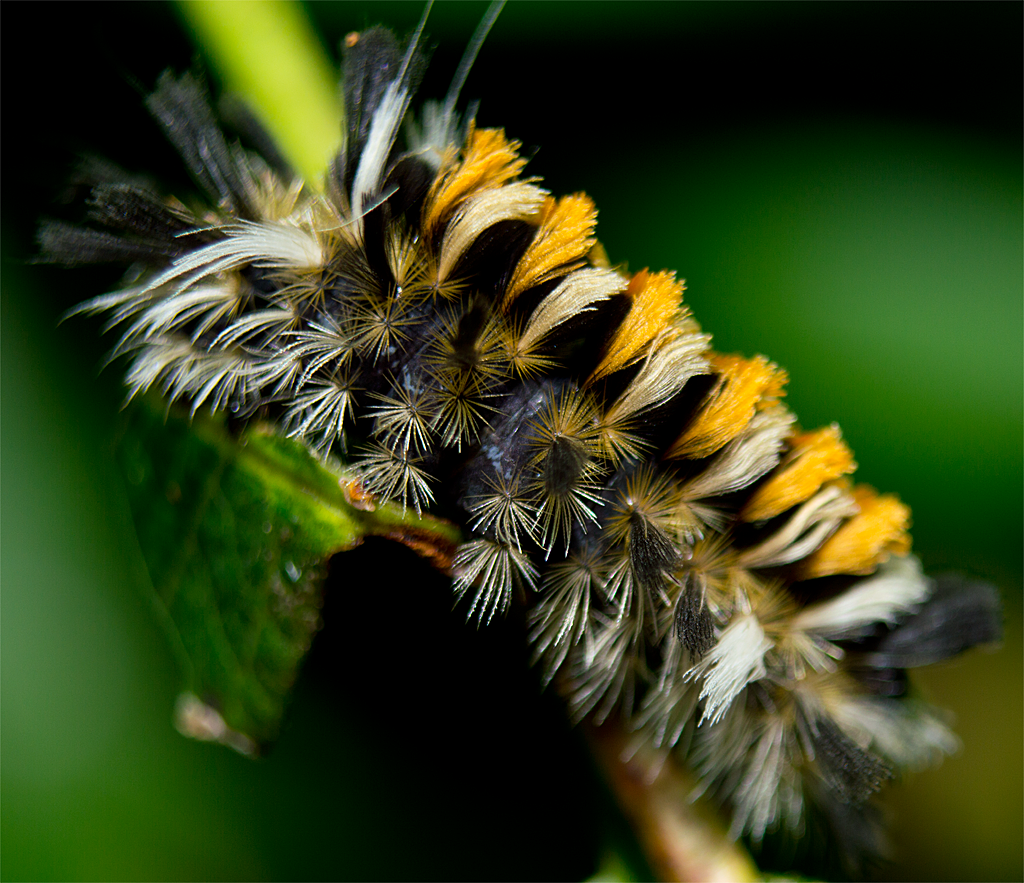 Tussock Moth Nymph 3