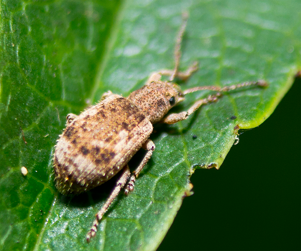 Two Banded Japanese Weevil 2