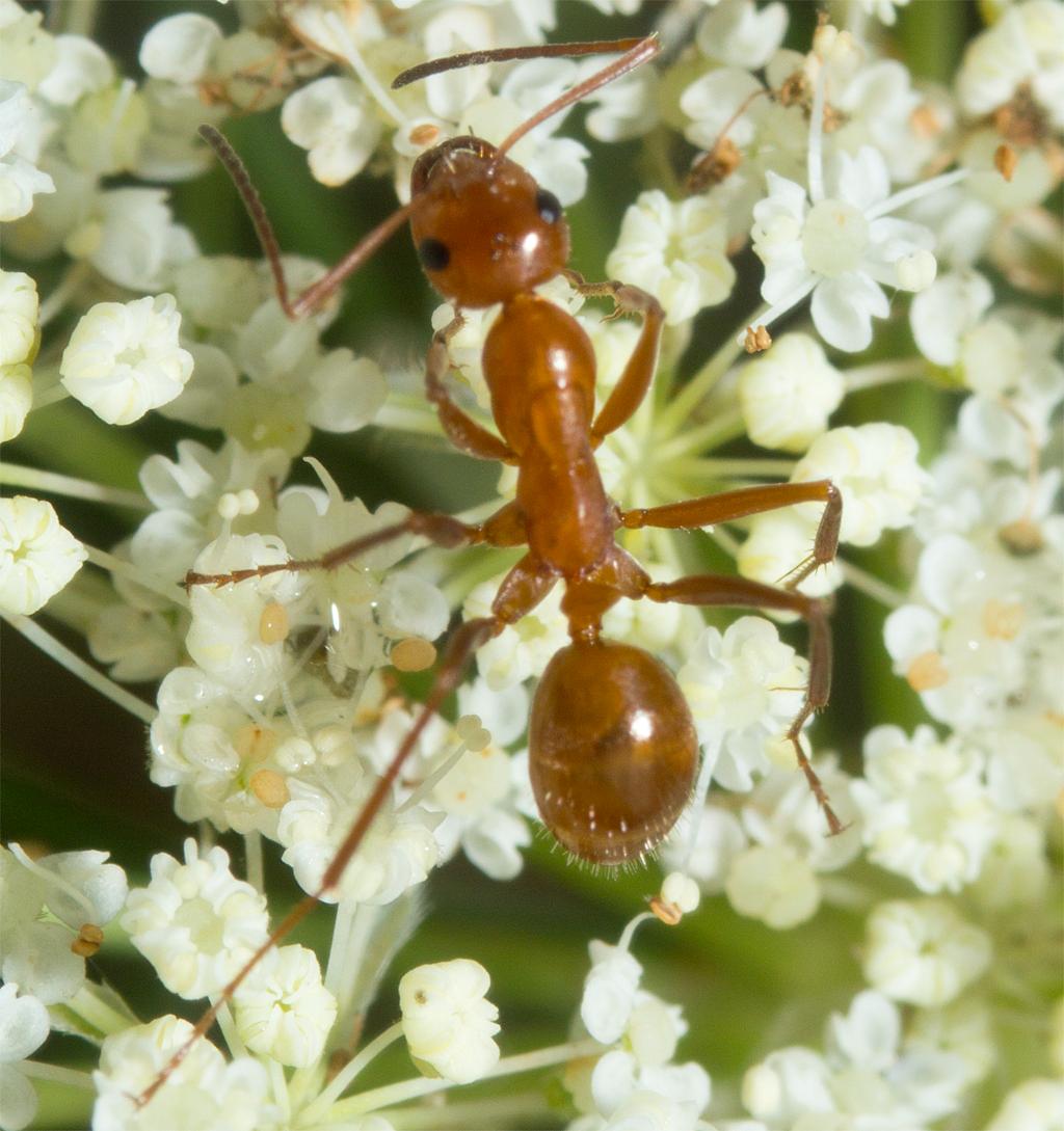 Ant 29