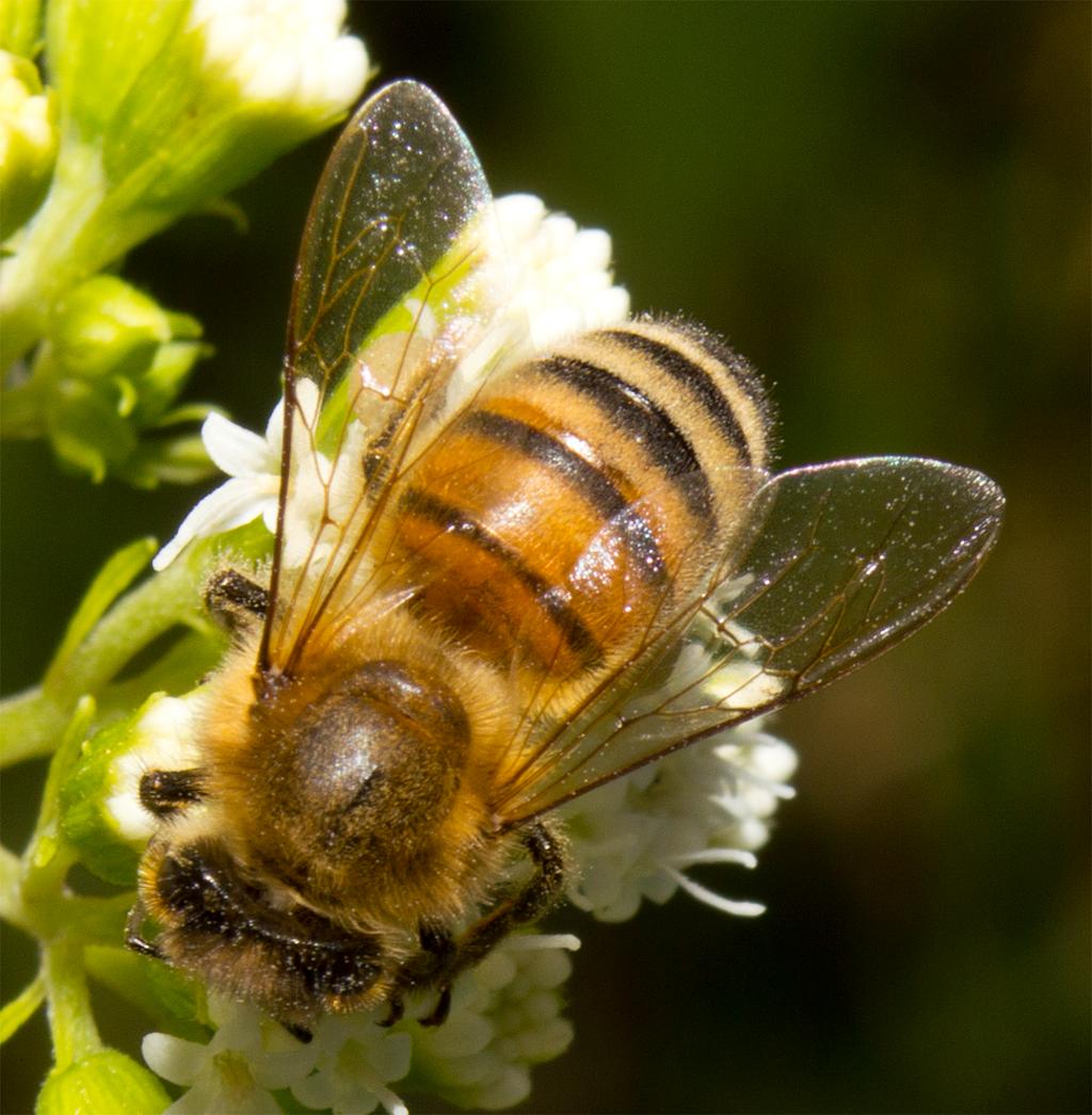 Bee 60