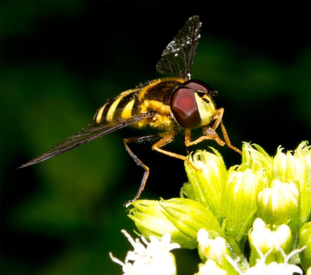 Bee Mimic 103