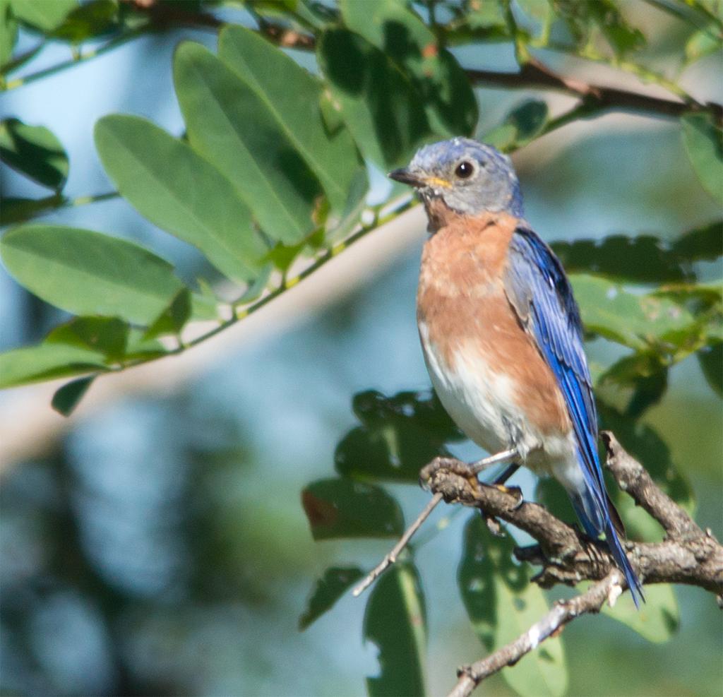 Bluebird 186