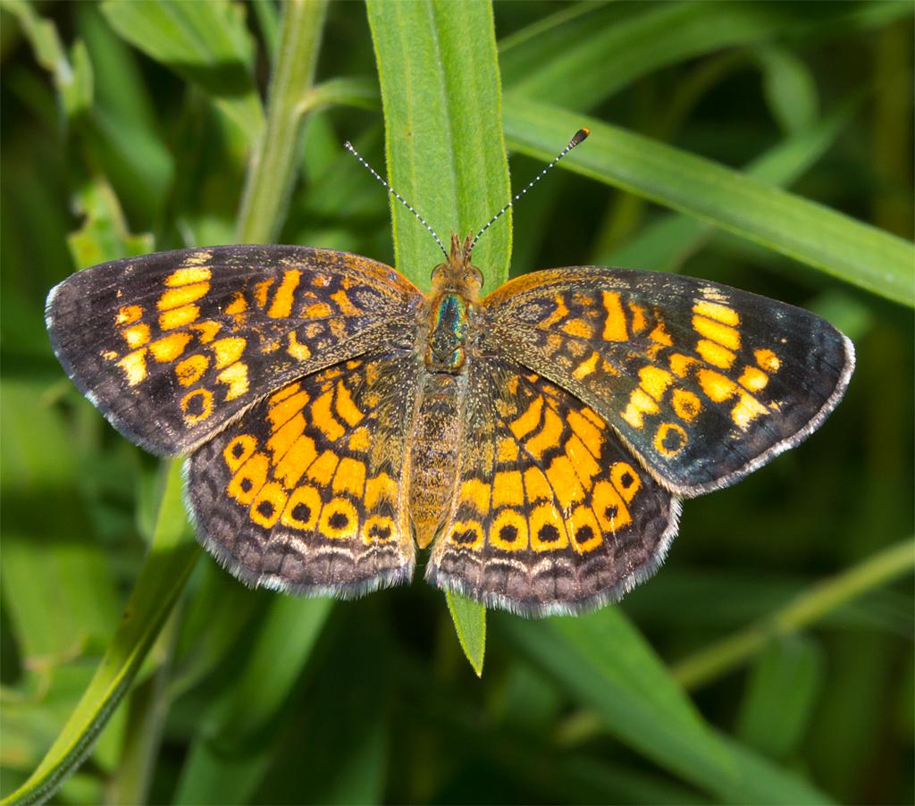 Butterfly 33