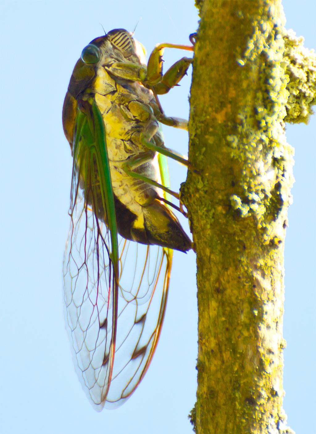 Cicada 104