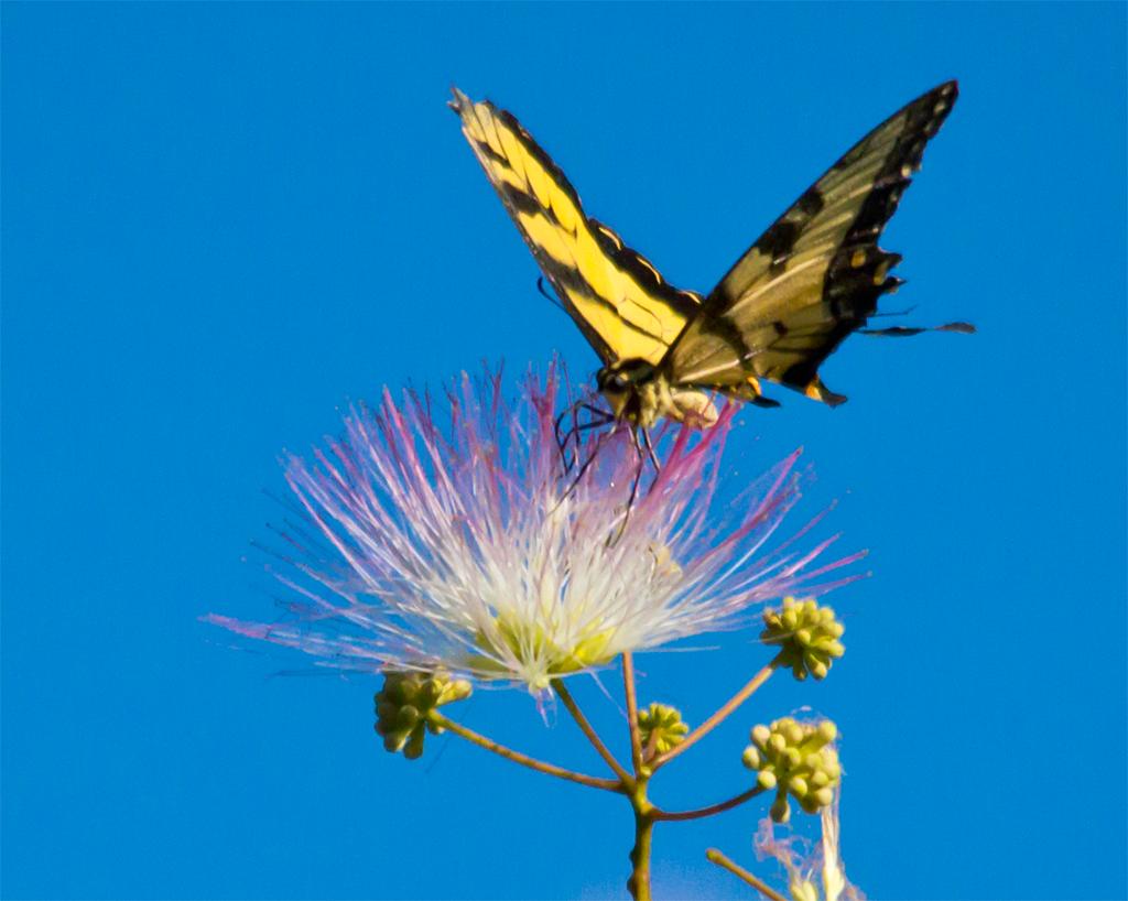 Eastern Tiger Swallowtail 50