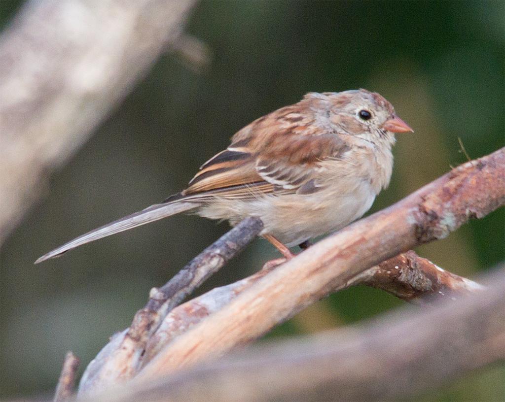 Field Sparrow 20