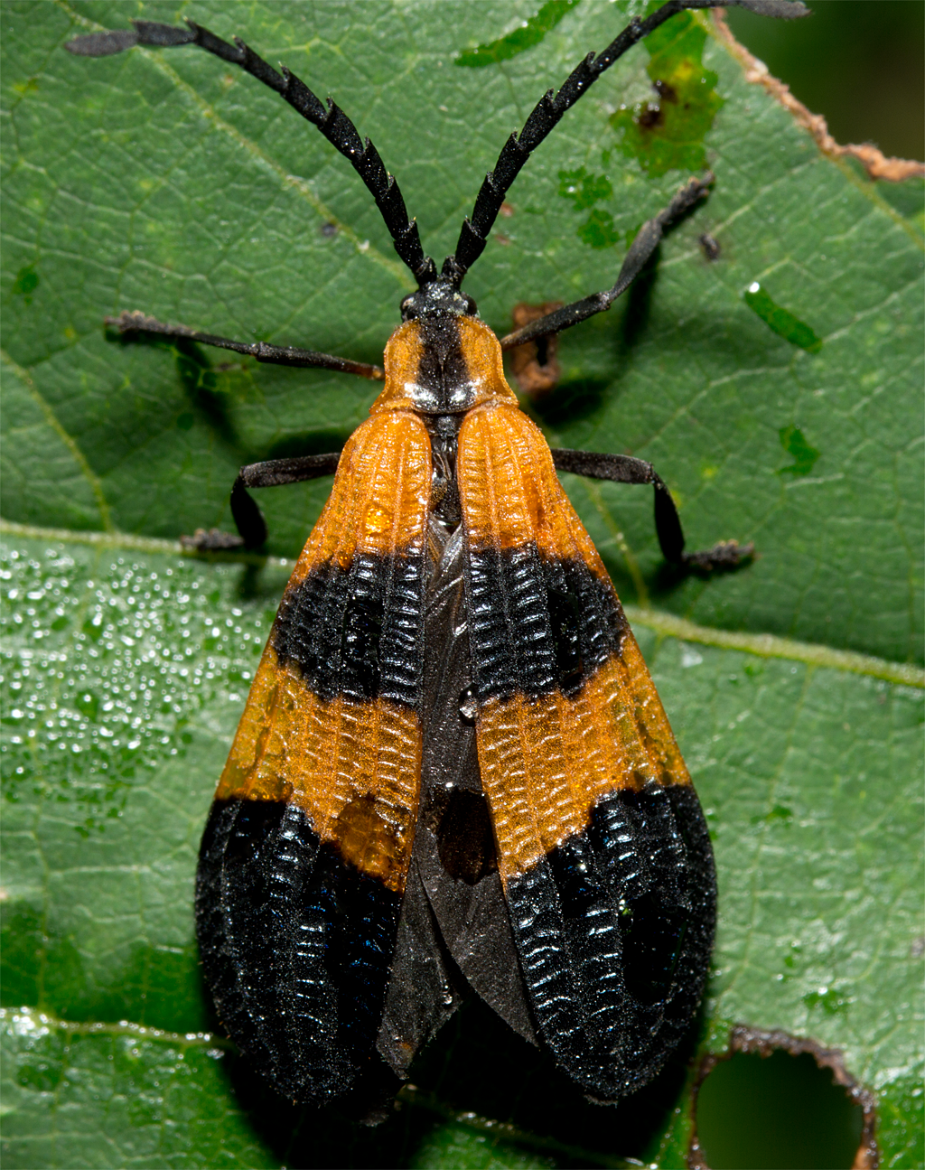 Insect 595