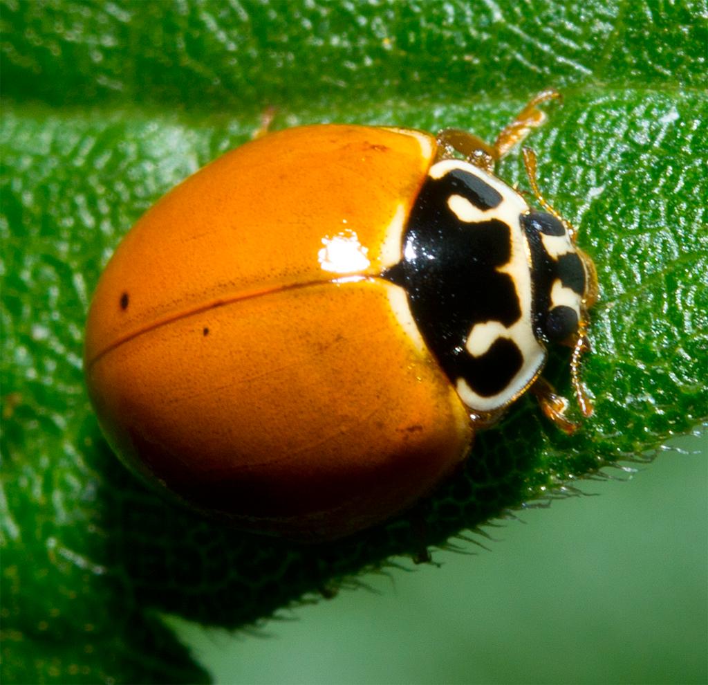 Ladybug 39