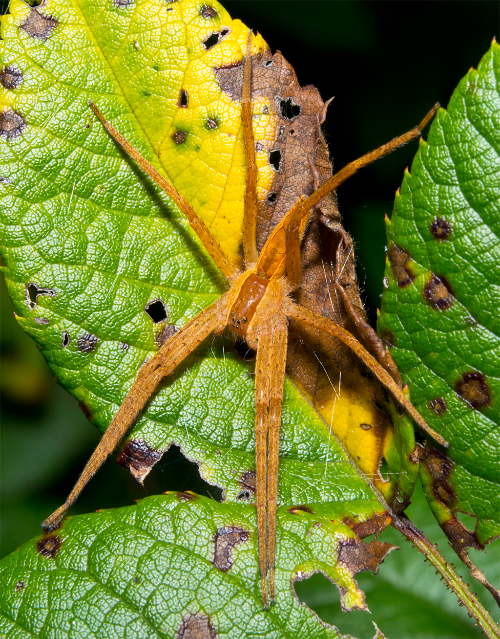 Nursery Web Spider 100