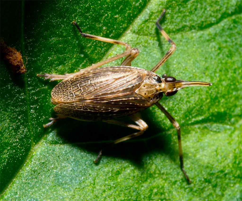 Partridge Bug 1 (6)