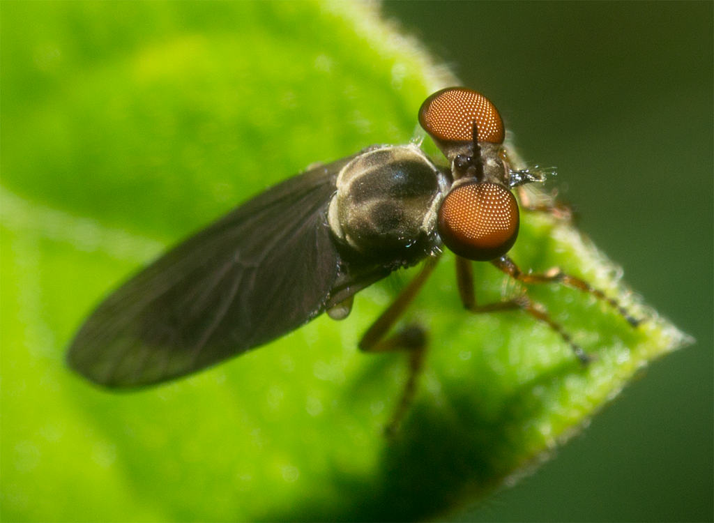Robber Fly 13
