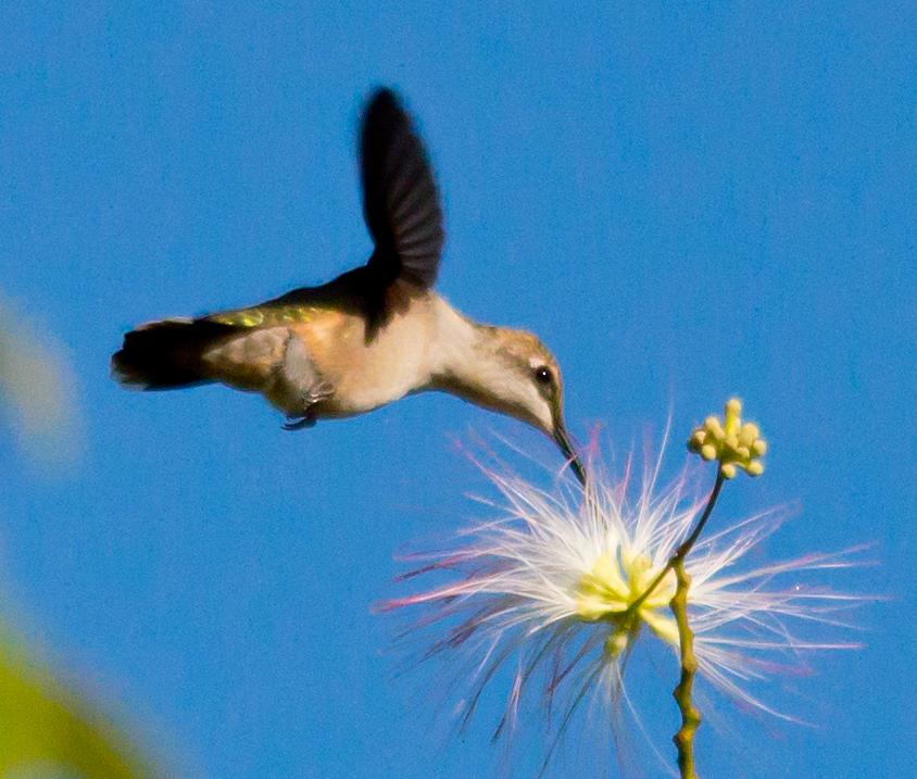 Ruby Throated Hummingbird 226
