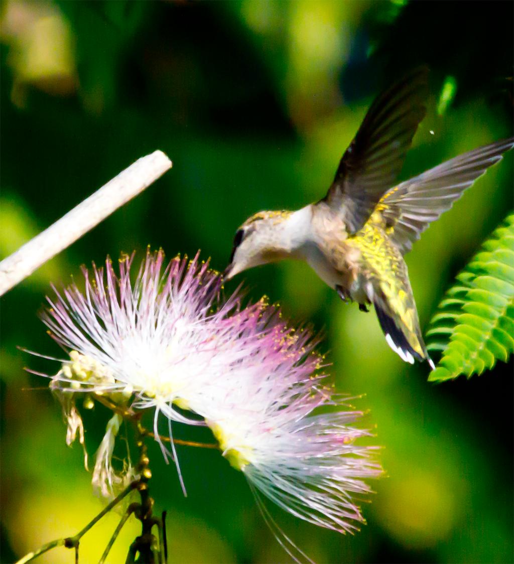 Ruby Throated Hummingbird 228