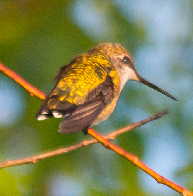 Ruby Throated Hummingbird 229