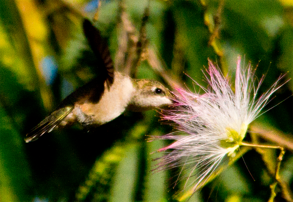 Ruby Throated Hummingbird 231