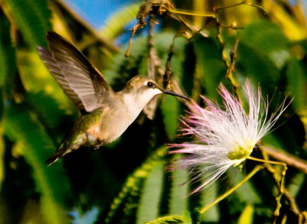 Ruby Throated Hummingbird 232