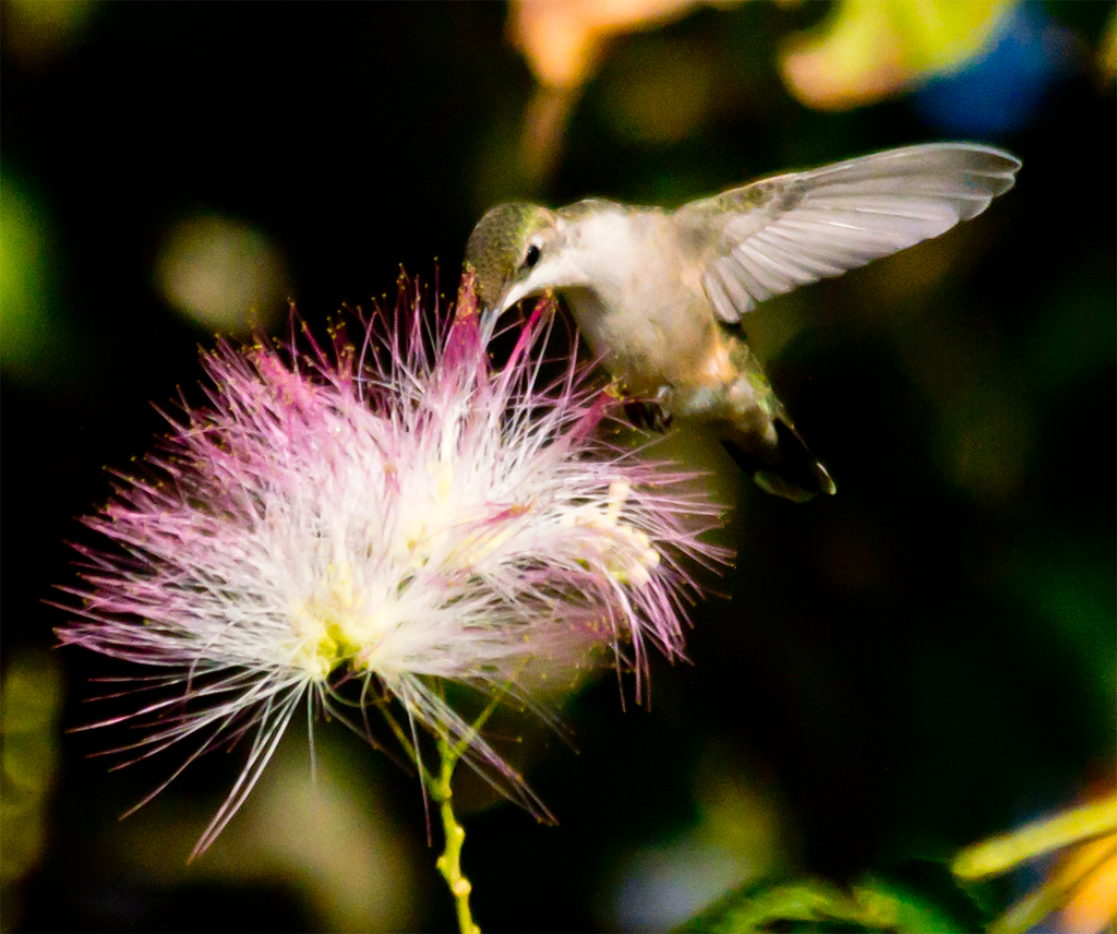 Ruby Throated Hummingbird 233
