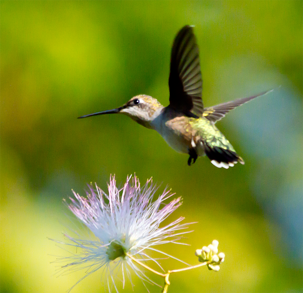 I wonder if I spend too much time with Ruby Throated Hummingbirds.