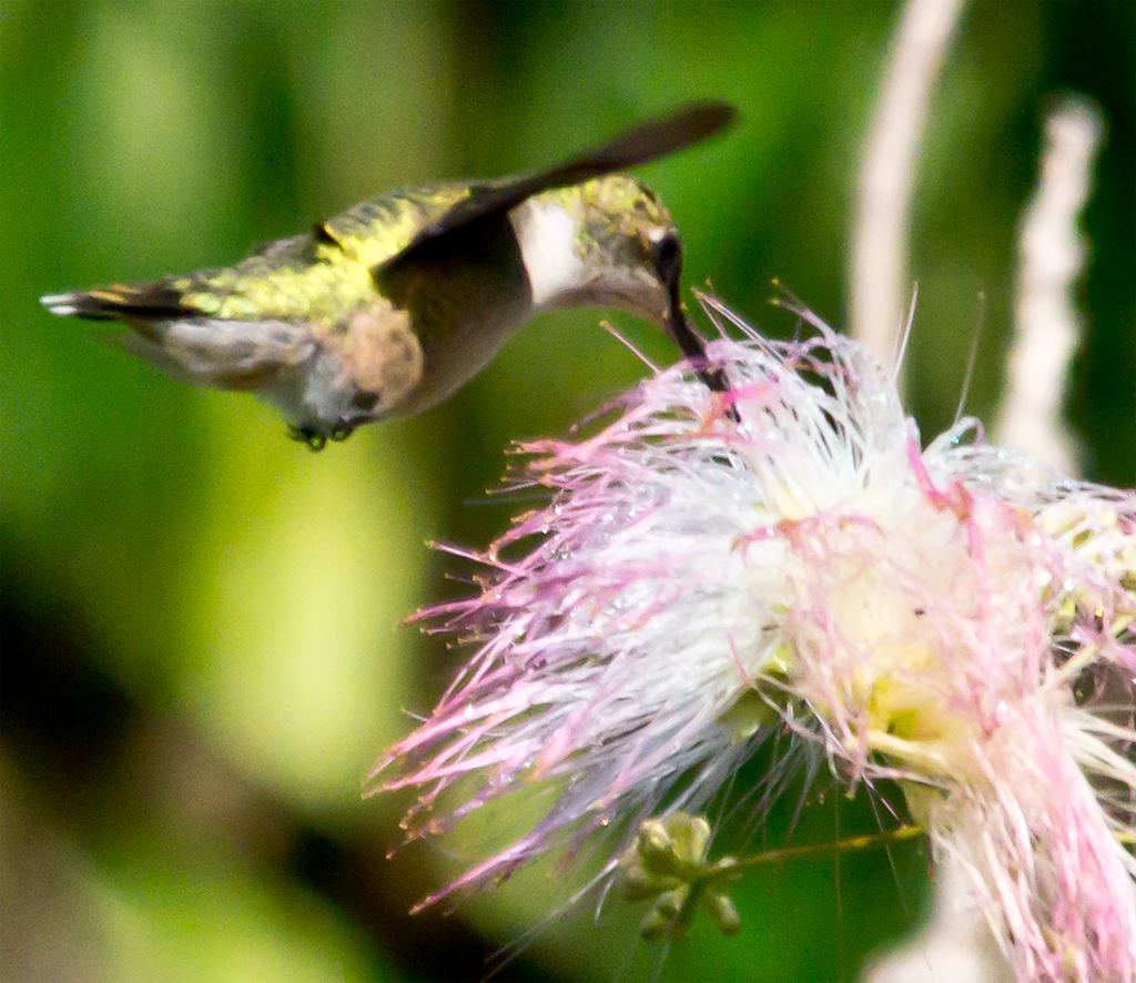 Ruby Throated Hummingbird 236