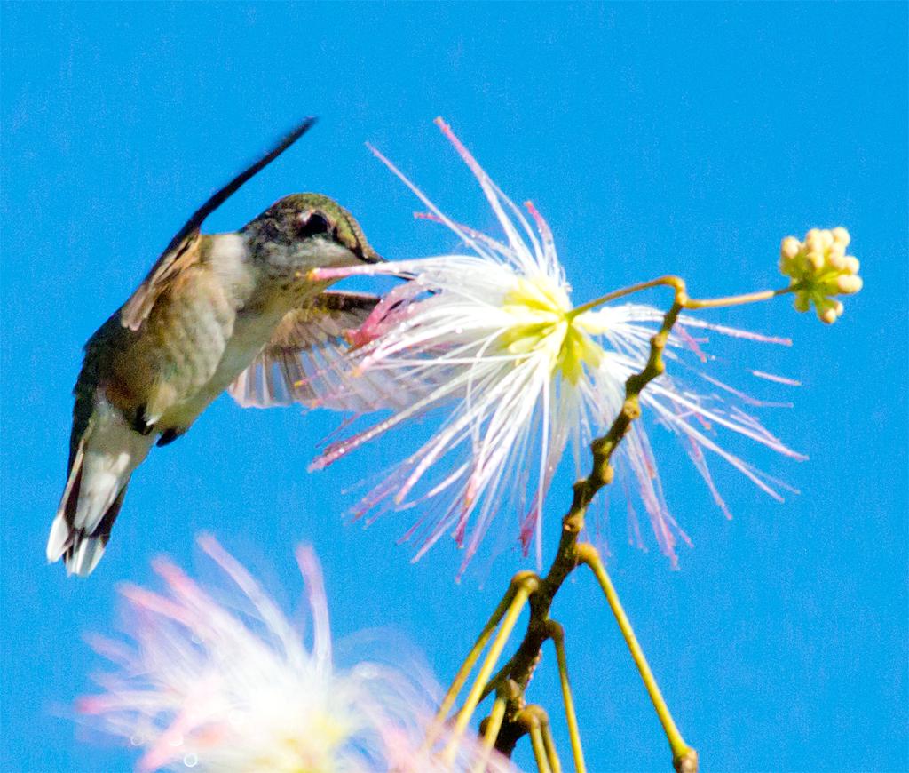 Ruby Throated Hummingbird 241