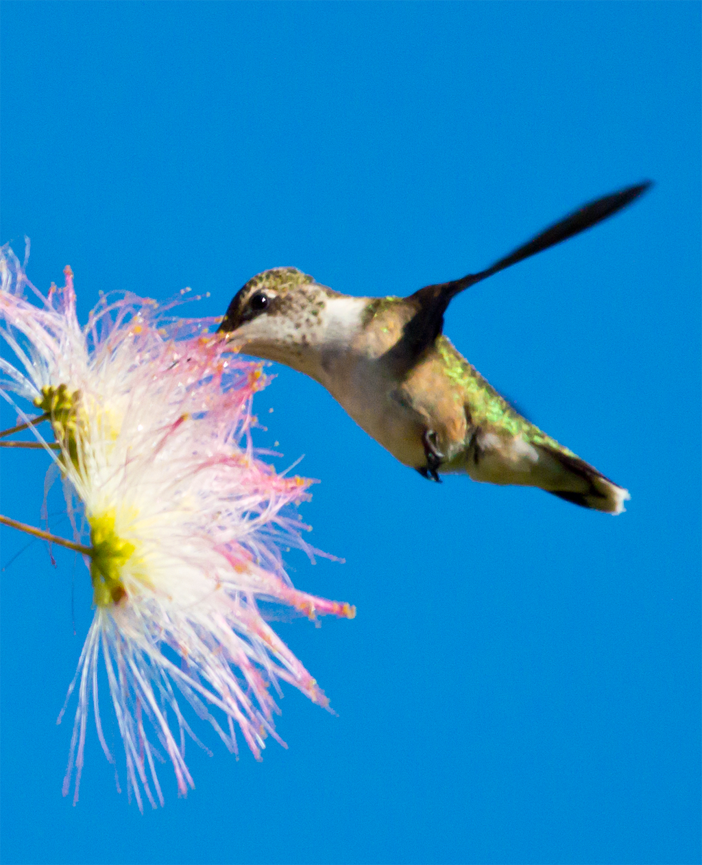 My hummingbird obsession continues.