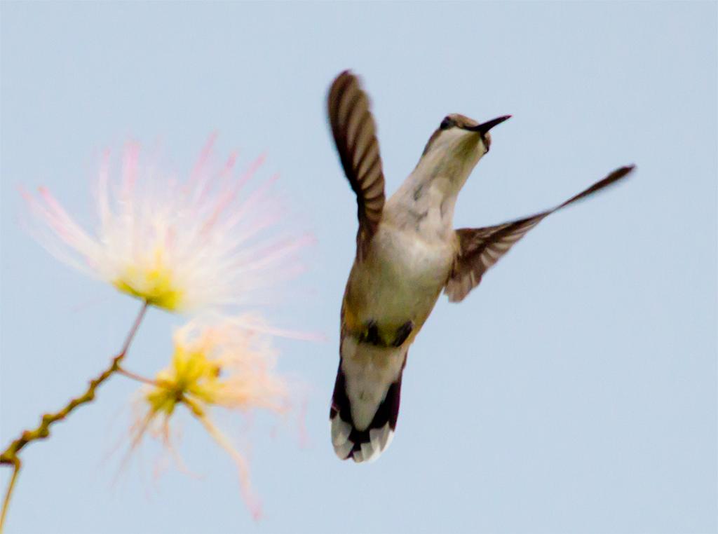 Ruby Throated Hummingbird 245