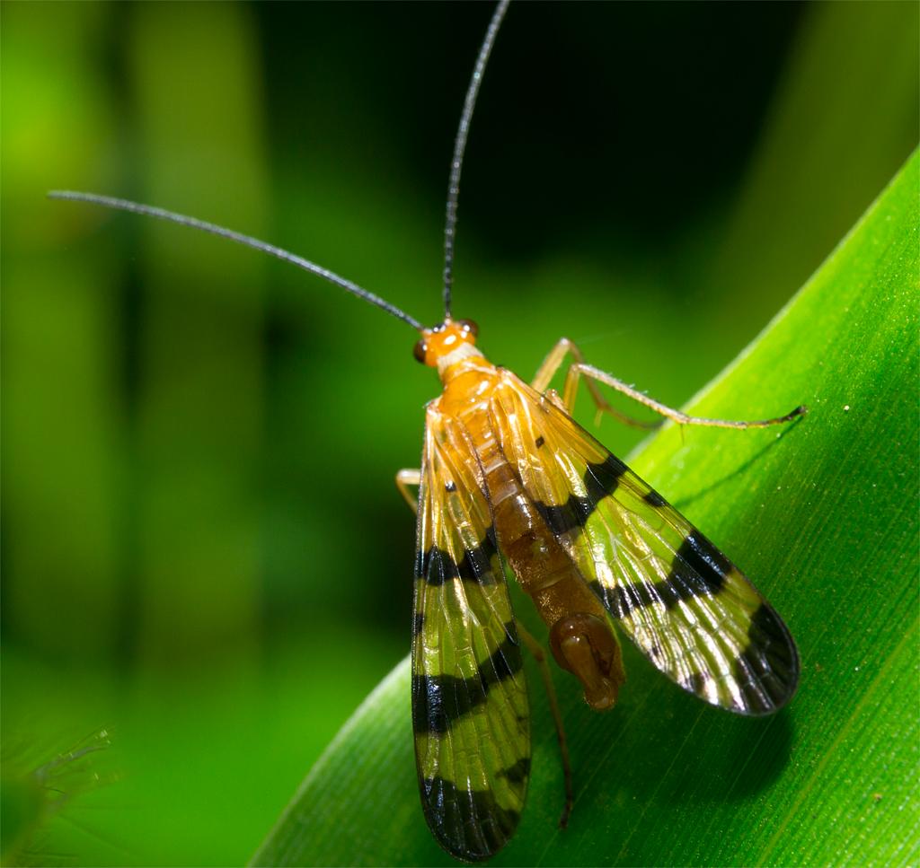 Scorpionfly 6