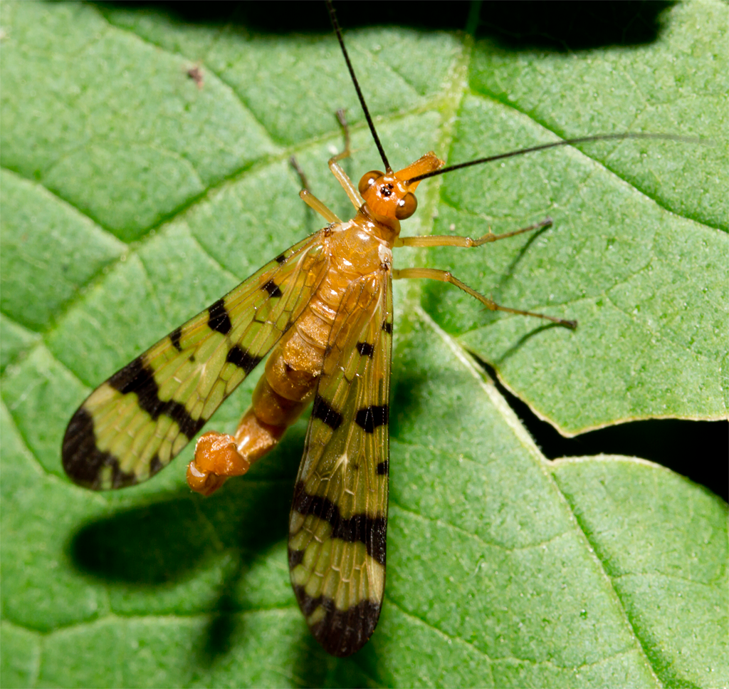 Scorpionfly 7