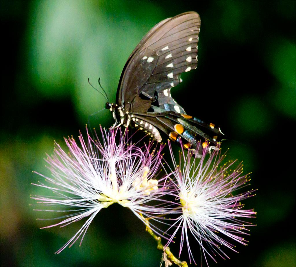 Spicebush Swallowtail 101