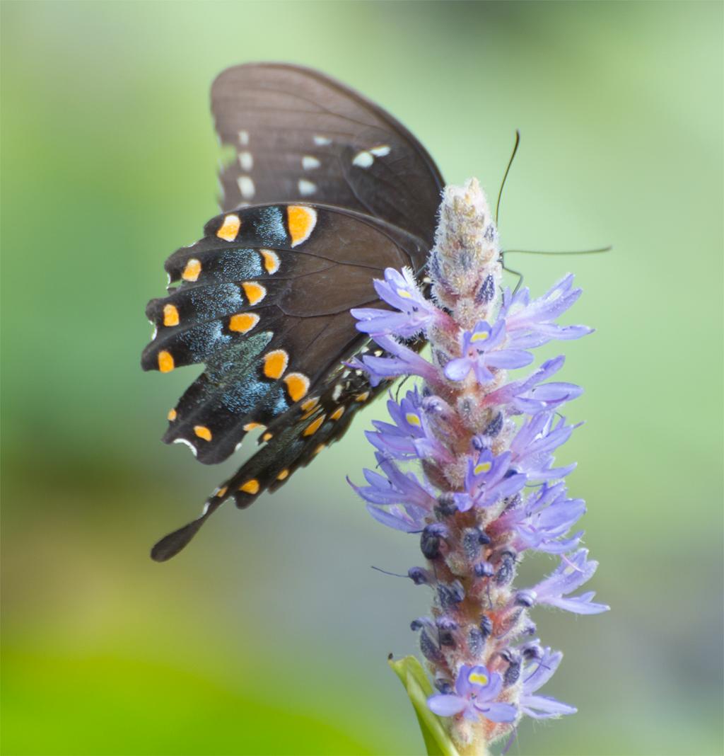 Spicebush Swallowtail 102