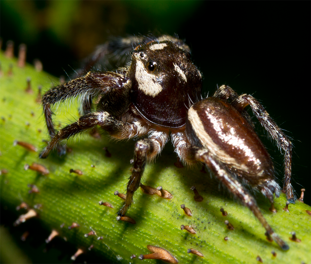 This Wolf Spider is very handsome.