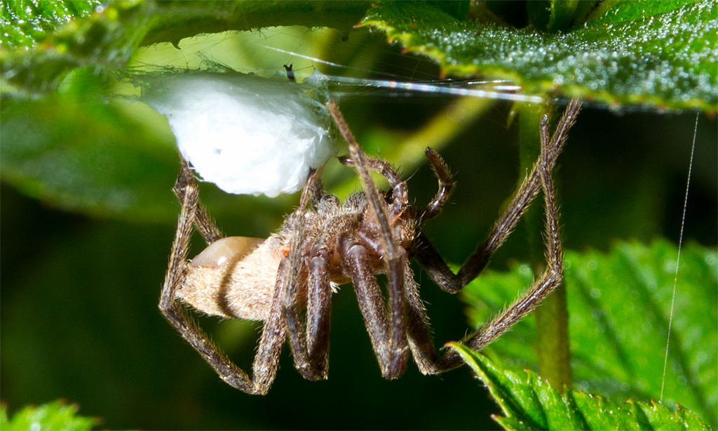 This Nursery Web Spider is guarding her egg sac.