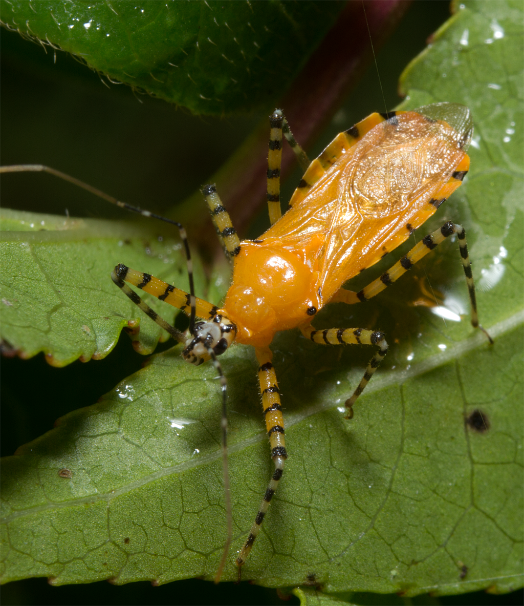 Assassin Bug 107