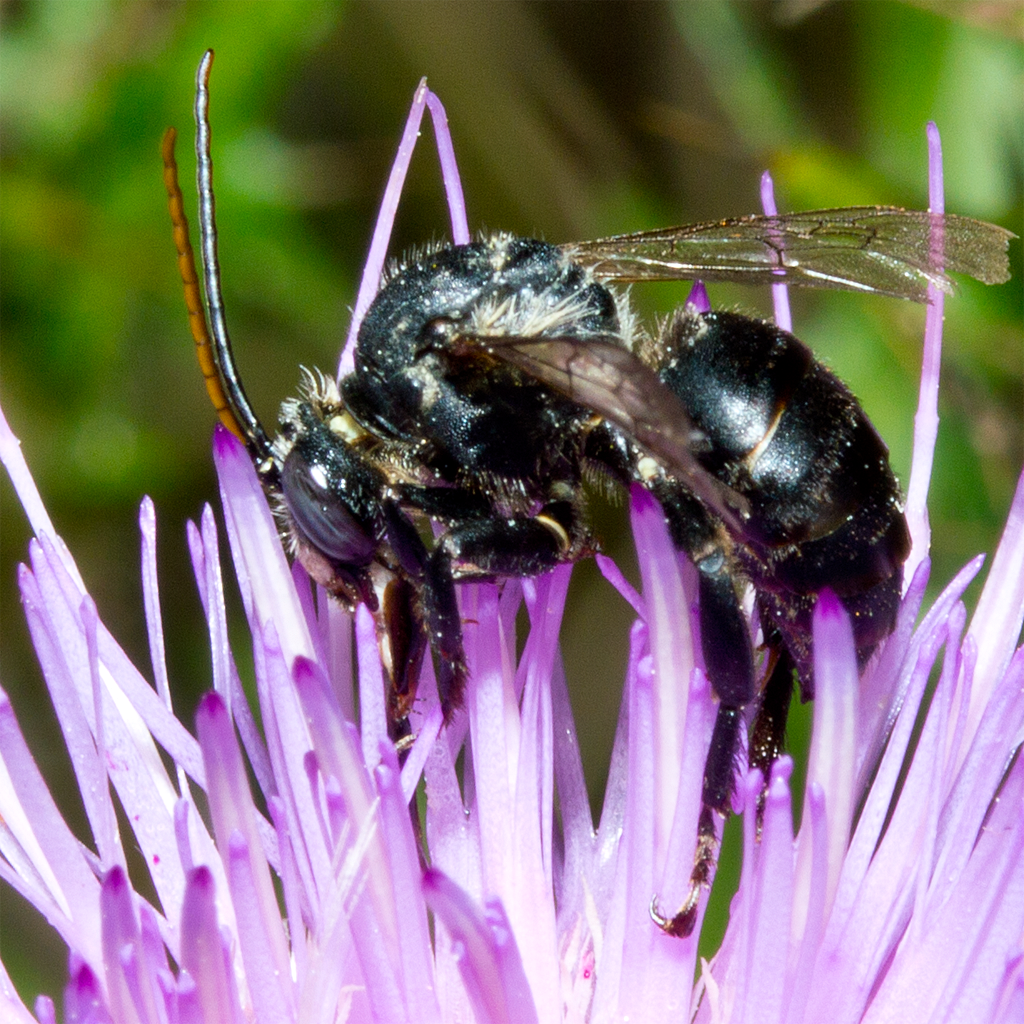 Bee 61