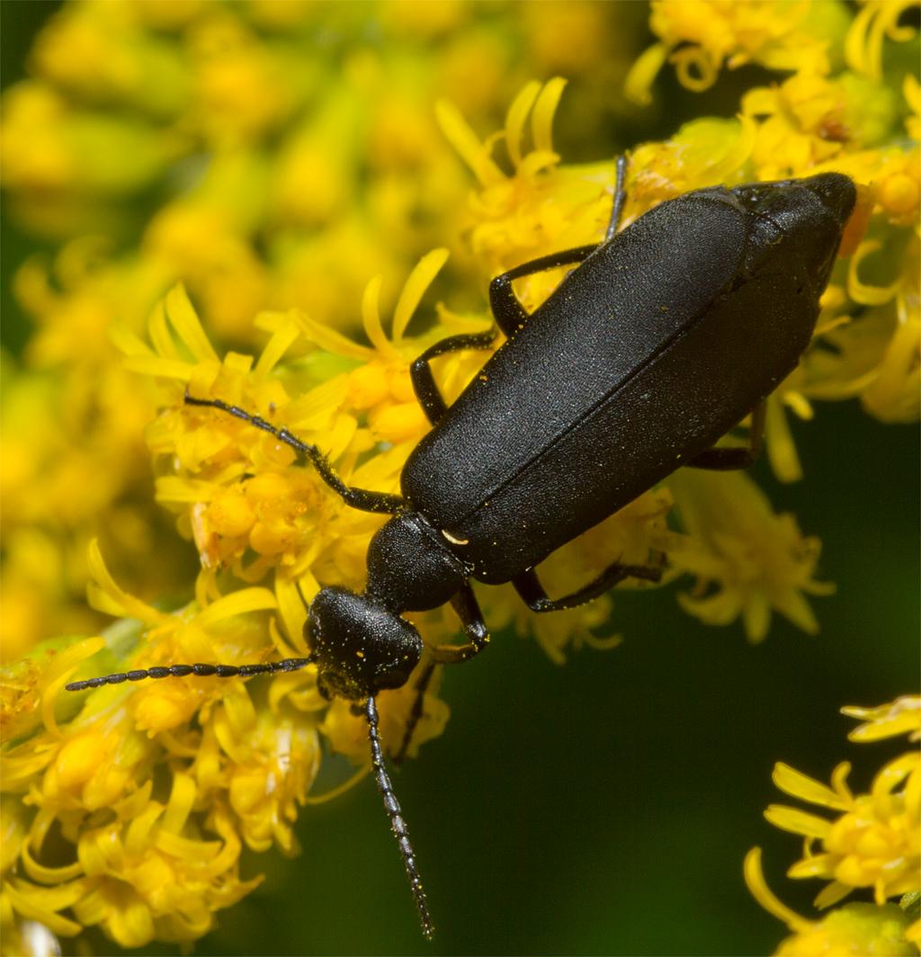 Beetle 104