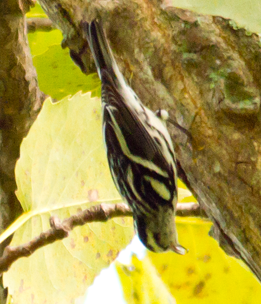 Black and White Warbler 45