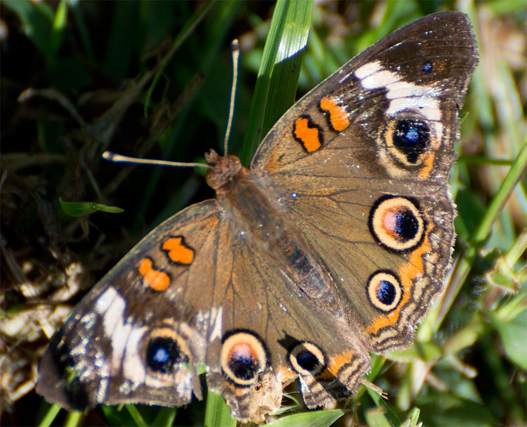 Butterfly 36